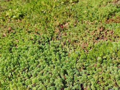 dachy zielone 70